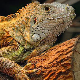 Female dragon by Gérard CHATENET - Animals Reptiles