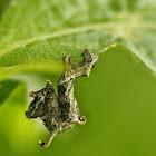 Nematocampa caterpillars
