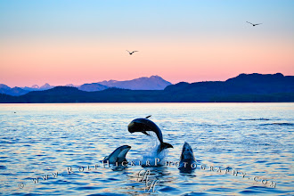 Photo: Pacific White Sided Dolphins in Johnstone Strait off Northern Vancouver Island, British Columbia, Canada.