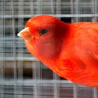 The color of my canary icon