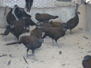 Photo: group of malay, palawan, rothschild, bronzetailed peacock pheasants in quarantine