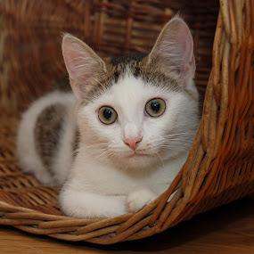 by Nadezda Tarasova - Animals - Cats Portraits ( kitten, cat )