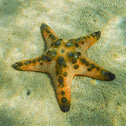 Horned Sea Star