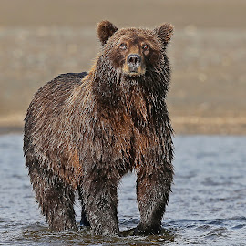 Fishing Time! by Anthony Goldman - Animals Other Mammals ( predator, mammal.alaskan brown, fishing, wet, bear, sow, wild, lake clark national park )