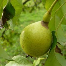 Pear by Helena Moravusova - Nature Up Close Gardens & Produce ( pear, fruits, nature )