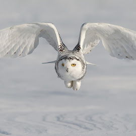 Snowy Owl by Stuart Edwards - Animals Birds ( snow winter cold owl eyes,  )
