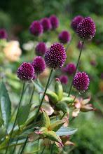 Photo: Purpurroter Gartenlauch (Allium sphaerocephalon) mit Samenständen der Pfingstrose