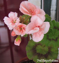 Photo: En Pelargon som spotat, dvs den har fått vanliga enkla blommor i halva blomklasen