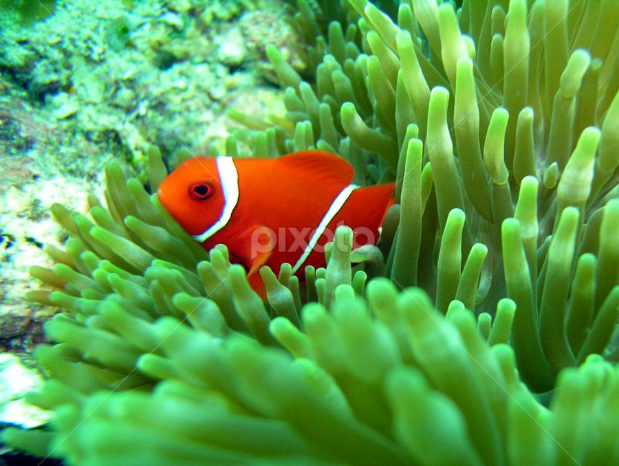 Not Nemo by David Campling - Animals Sea Creatures ( underwater, clown, fish, redsea, nemo )