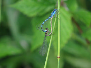 Photo: 30 Jun 13 Priorslee Lake: A so-called mating wheel of Common Blue Damselflies – the male is blue! Claspers on his 'tail' grip the female's neck just like Lord Saatchi is alleged to have done. Here the female responds positively! (Ed Wilson)