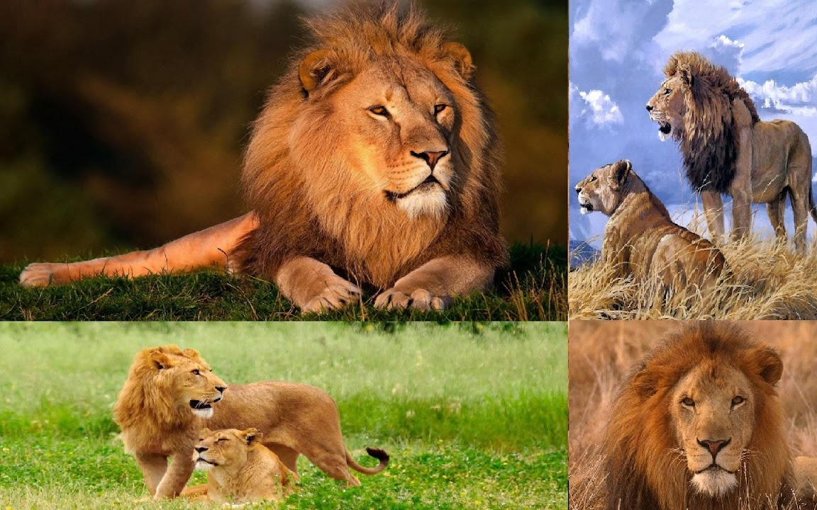 Download Lions Hd Wallpaper For Android Lions Hd Wallpaper Apk