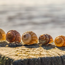 by Adele Price - Nature Up Close Other Natural Objects ( shells, bokeh, in a row,  )