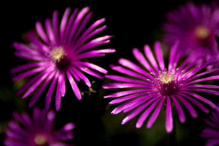 PinkFlowers di nicolaibba