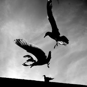 Gulls ... by Ian Cormack - Animals Birds