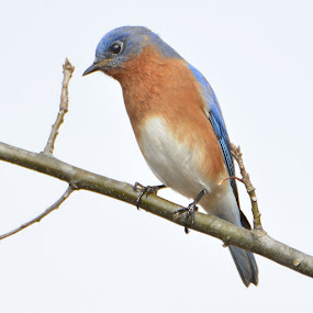 Eastern Bluebird  by Ed Neu - Animals Birds (  )