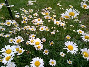 Photo: Les marguerites qu'on a laissé fleurir/ Beautiful daisies, the buds we left behind..