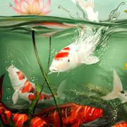live koi pond wallpaper