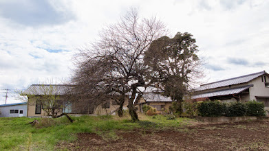Photo: Bare tree - conspicuous in not bearing any blossom at this time of year - in a field in Ōizumi-machi, Ōra-gun, Gunma-ken in spring. Read more about Oizumi: http://japanvisitor.blogspot.jp/2015/04/oizumibrazil-in-japan.html