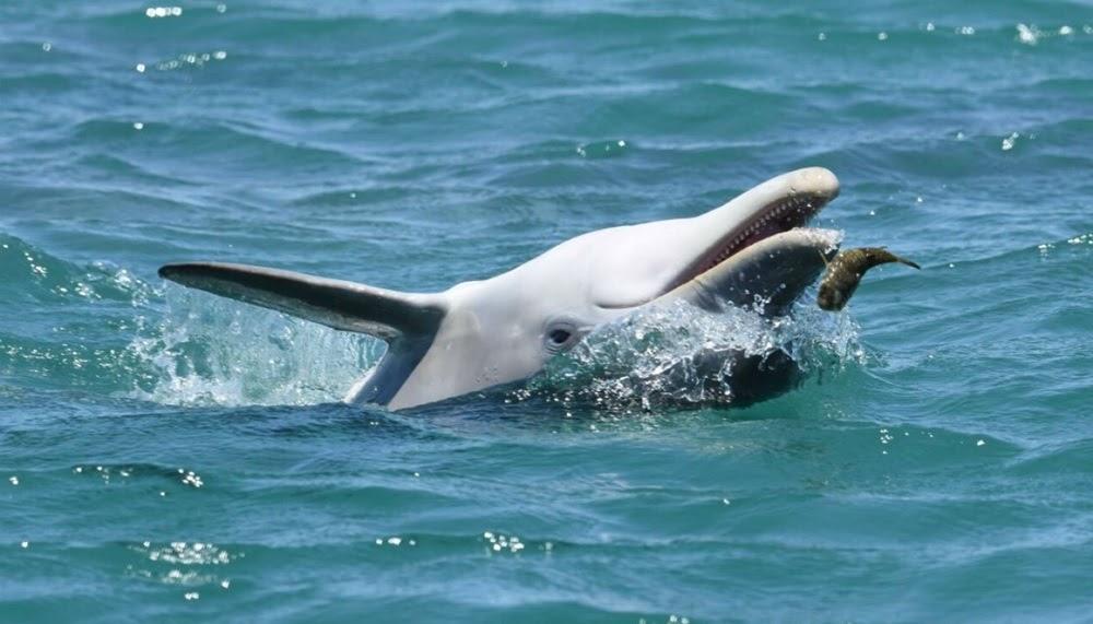 Os golfinhos chapados da Austrália