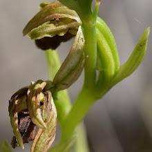 Photo: Ophrys sp. (Orchidea, sfiorita)