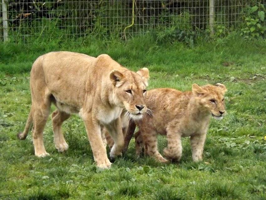 Lionceau d'Angola (6 mois) et sa mère, Mervent - Tous droits réservés