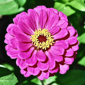 Zinnia in Bloom by Doug Wean - Flowers Single Flower ( zinnia, red, nature, petals, nature up close, flowers, flower bud, garden, flower,  )