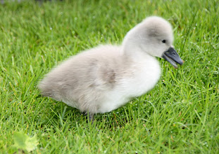 Photo: Day 57 - One of the Cygnets #2