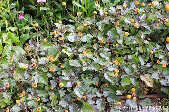 Photo: 拍攝地點: 梅峰-溫帶花卉區 拍攝植物: 金鈕扣 拍攝日期: 2014_11_25_FY
