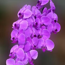 dark shy by Git Gitos - Flowers Flower Arangements ( pink, orchidaceae, flower,  )