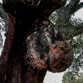 Sobreiro by Zulmira Relvas - Nature Up Close Trees & Bushes (  )