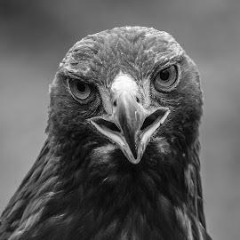 Goldie by Garry Chisholm - Black & White Animals ( bird, garry chisholm, nature, black and white, wildlife, prey, raptor, golden eagle )