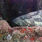 Orange Spotted Grouper