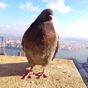 NY Pigeon by Ash Swetland - Animals Birds ( bird, pigeon, manhattan, new york city, new york )