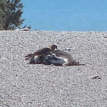 Photo: Caracara eating dead penguin