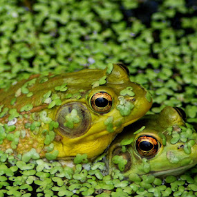 Frogs A Courting by Peggy LaFlesh - Animals Amphibians (  )