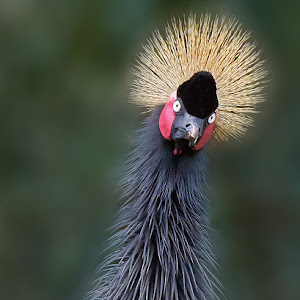 Black Crowned Crane_1260 1.jpg