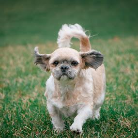 by Michelle Klumper - Animals - Dogs Running (  )