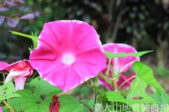 Photo: 拍攝地點: 春陽-可愛植物區 拍攝植物: 日本朝顏 殘月 拍攝日期:2013_08_29_FY