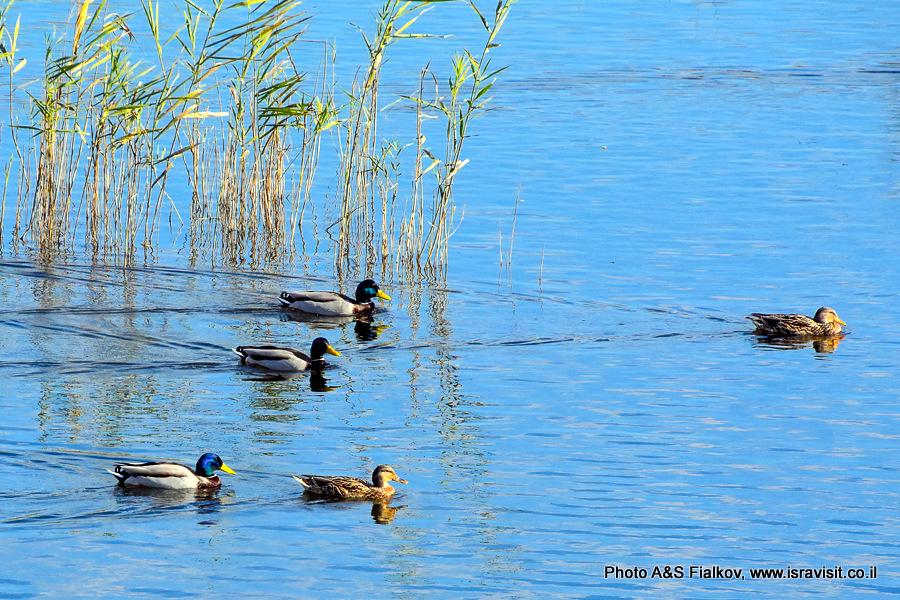Утки. Перелетные птицы Израиля. Национальный парк на озере Хула.