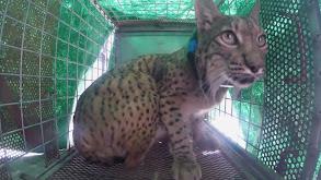 Saving the World's Most Endangered Cat thumbnail