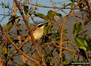 Photo: Stripe-headed Sparrow, El Mirador del Aguila