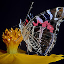 Painted lady or banded lady