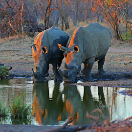 A post dinner drink! by Anthony Goldman - Animals Other Mammals ( rhino, drinking, white, reflection, mammal, endangerd, water,  )