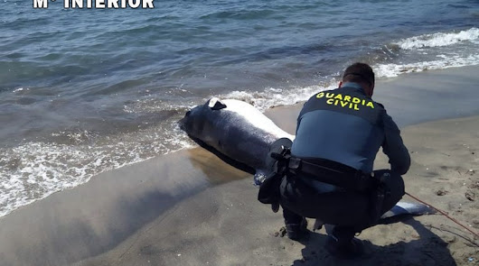 Aparece una ballena de 300kg varada y muerta en Aguamarga