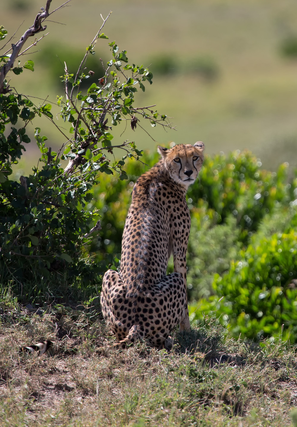Photo: I believe cats to be spirits come to earth.   A cat, I am sure, could walk on a cloud without coming through.   ~ Jules Verne  Cheetah Female, Maasai Mara, Kenya  #CATURDAY +CATURDAY! curated by +Jules Falk Hunter , +Shantha Marie Fountain, +Cicely Robin Laing #catsallovertheworld +CATS all over the World curated by +Robert SKREINER #hqspanimals +HQSP Animals curated by +Joe Urbz , +Marina Versaci , +Nicole Best