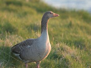 Photo: Greylag Goose (Graugans); Reykjavík, ISL