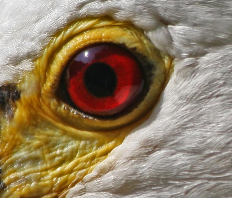 eye di kaira