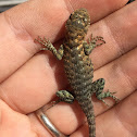Young Granite spiny lizard