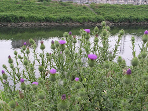 Photo: アザミ(キク科)。 2007.07.09 自宅付近の河原にて