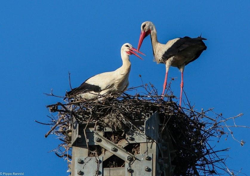 coppia di cicogne nel nido, piana di catania